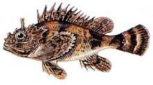 La escorpina (pez)