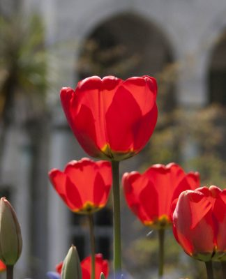 tradiciones-tulipan-palacio-topkapi